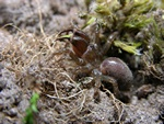 Tapetserfugleedderkop (Atypus affinis)